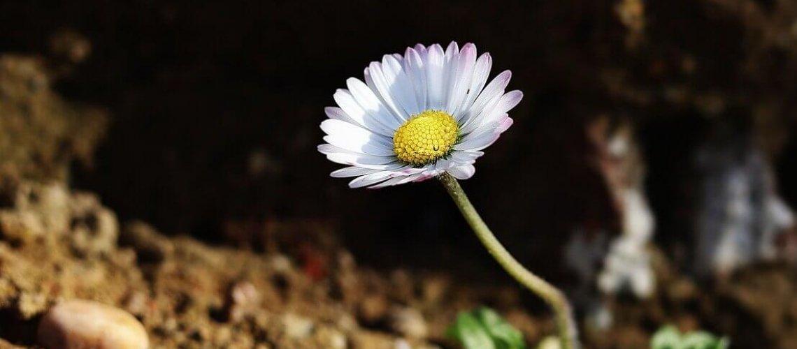 daisy-5009524_1280